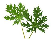 Papaya Leaf, Green Papaya Leav...