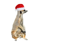 Very Funny Meerkat Manor Sits In Christmas Or Santa Hat Isolated On White Background.
