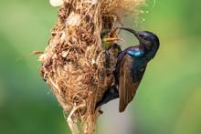 Image Of Purple Sunbird (Male)...