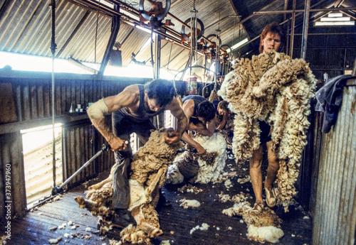 Tela tonte des moutons australie