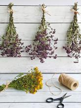 Harvesting Herbs Of Oregano An...
