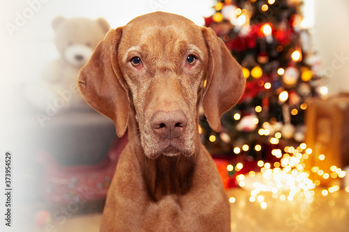 Fototapeta Hungarian hound pointer vizsla dog celebrating holidays under christmas tree lights