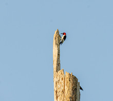 A Red-Headed Woodpecker On A Dead Tree.