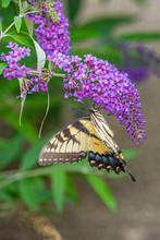 Yellow Swallowtail Butterfly Perched On Purple Flowers Of Butterfly Bush In Garden