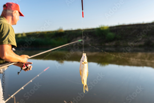 Fotografie, Obraz Crucian fish caught on bait by the lake, hanging on a hook on a fishing rod, in the background an angler catching fishes