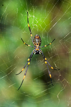 Nephila Pilipes (northern Golden Orb Weaver Or Giant Golden Orb Weaver Is A Species Of Golden Orb-web Spider. Seen At Watson's Bay, Sydney, Australia.