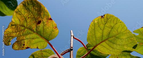 sceniche foglie di kiwi contro il cielo azzurro Canvas