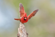 Northern Cardinal (Cardinalis Cardinalis) Male Wingspread, South Texas, USA