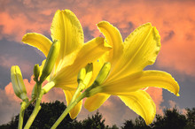 View Looking Skyward Of Two Bright Yellow Daylily Blossoms (Hemerocallis 'Yellow Pinwheel') Set Against Billowing Cumulus Clouds Tinted Orange And Pink By Setting Sun.