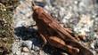 konik polny świerszcz macro