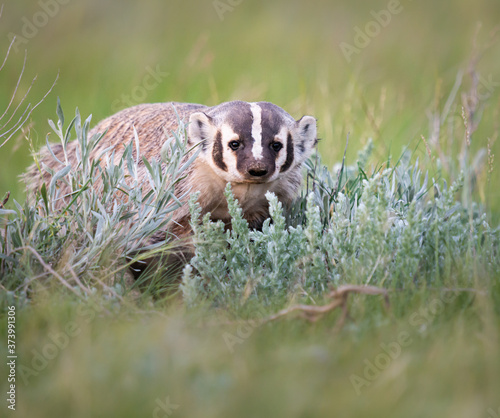 Badger in the wild Canvas Print