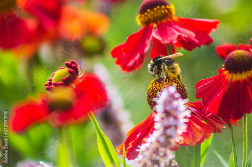 Fotografie, Obraz bee sits on a helenium flower in the garden nectar