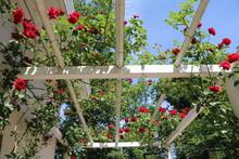 Rose Garden At Öland, Sweden