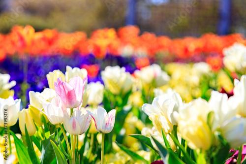 Fototapety, obrazy: カラフルな花畑