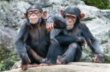 Two Baby Chimpanzees Sitting S...