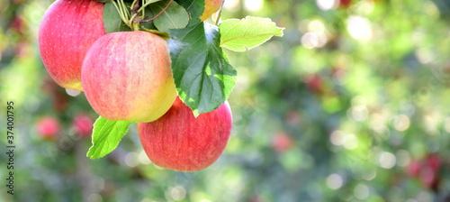 Leckere reife rote Äpfel am Apfelbaum - Apfelernte im Herbst in Südtirol Fototapet