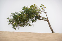 A Lone Tree Stands In The Sands Of The Oregon Coast Near Florence, Ore.