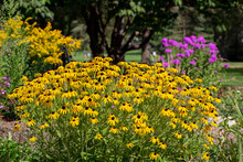 Landscape View Of A Mass Of Bright Yellow Black-eyed Susan Wildflowers In A Sunny Ornamental Butterfly Garden