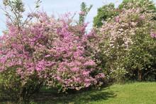 Pink Blossom , Bougainvillea, ...
