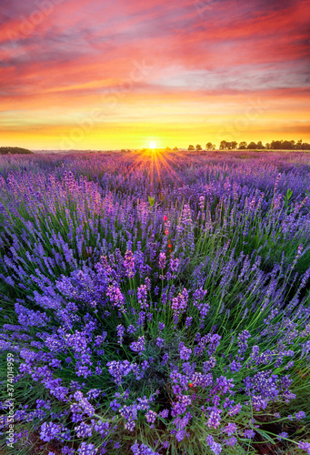 Fototapety, obrazy: Beautiful lavender field sunset landscape