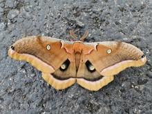 Beautiful Polyphemus Moth