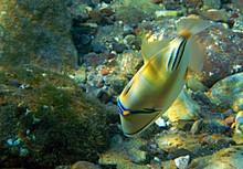 Exotic Fish -  Picasso Trigger...