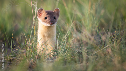 Fotografie, Obraz Long tailed weasel in the Canadian prairies