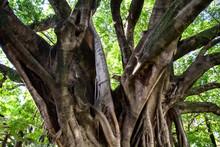 Copa Da árvore Com Folhas Ver...