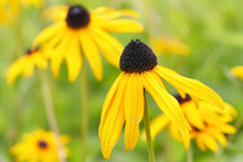 Black Eyed Susan Close Up - Ru...