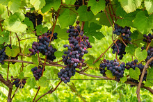 The Bunches Of Grapes Ripen In...