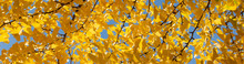 Abstract Autumn Background. Colorful Autumn Leaves On Ginkgo Biloba Tree Branch. Seasonal Changes In Nature. Panoramic Background Of Yellow Fall Leaves. Banner Size. Copy Space For Text Or Design