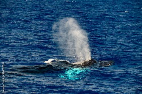 Humpback whale in Mediterranean sea ultra rare near Genoa, Italy August 2020