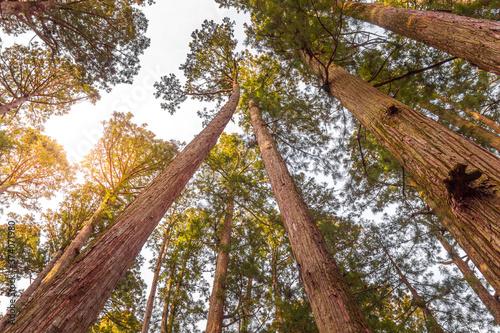 Fotografie, Obraz Trees in the Koyasan, Mount Koya, Japan