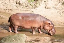 Hippopotamus Living River Natural Wildlife
