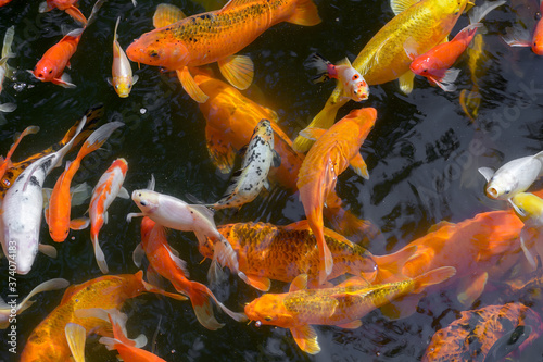 Pond with goldfish or Golden carp Japanese name-koi fish, Nishikigoi, Cyprinus carpio haematopterus in the pond, close-up of koi fish Fototapeta