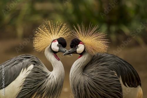 uganda crested crane Fotobehang