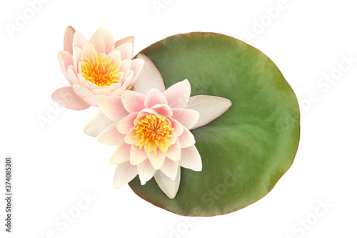 Fotografie, Obraz Water lilies on a leaf isolated on white background, Lotus flowers blooming