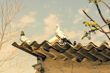 Doves Sitting On Roof Top