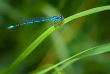 Blue Damselfly On A Green Leaf