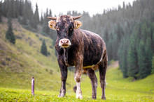 Young Cow Standing On Green Gr...