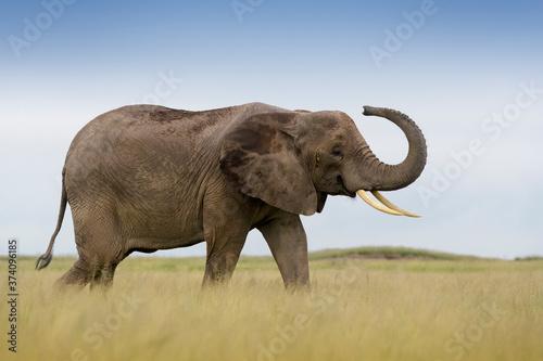 Fényképezés African elephant (Loxodonta africana) walking on savanna, playfull smelling in the air, Amboseli national park, Kenya