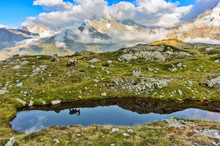 Alpine Ibex Among The Rocks Wi...