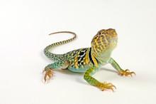 Common Collared Lizard, Male / Halsbandleguan, Männchen (Crotaphytus Collaris)