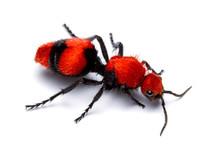 Dasymutilla Occidentalis, Appelée Aussi Fourmi De Velours Rouge Bien Que Cet Insecte Soit Une Guêpe.