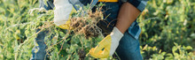 Cropped View Of Farmer Weeding Field In Work Gloves, Horizontal Concept