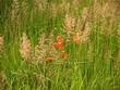 piękno roślin łąkowych, kobierzec barwny, , charakter, zieleń, pola, lato,  kłos, kwiat, ziele,