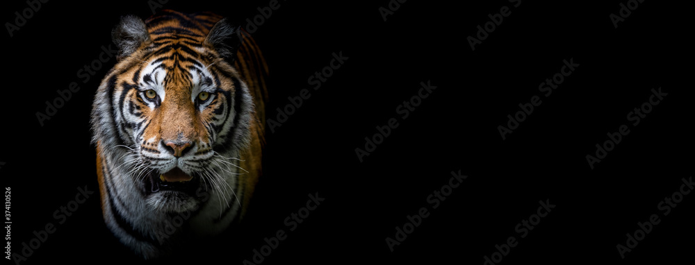 Fototapeta Template of a tiger with a black background