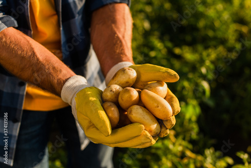 Vászonkép cropped view of rancher in work gloves holding fresh potatoes in cupped hands