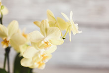 Close Up Of A Beautiful Mini Yellow Phalaenopsis Orchid. Extreme Shallow Depth Of Field With Selective Focus And Blurred Background.