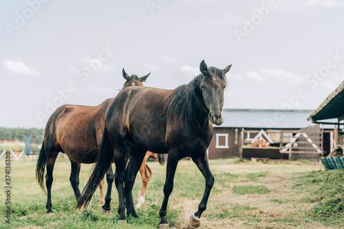 Obraz na plátně brown horses grazing on ranch against cloudy sky